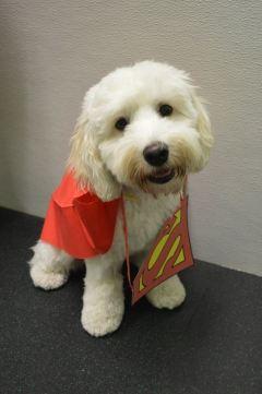 Cockapoo as Superman